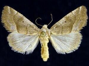 http://mothphotographersgroup.msstate.edu/species.php?hodges=9752