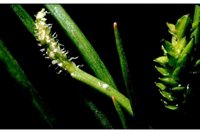 http://plants.usda.gov/gallery/large/lisc4_001_lhp.jpg
