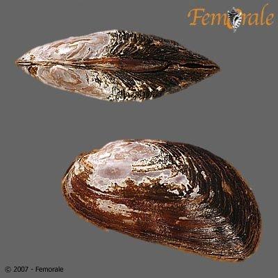http://www.femorale.com/shellphotos/detail.asp?species=Gonidea%20angulata%20(Lea,%201838)