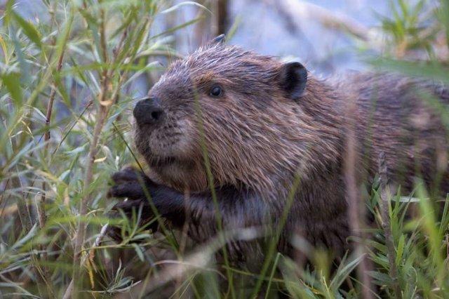 http://commons.wikimedia.org/wiki/File:Beaver-Szmurlo.jpg
