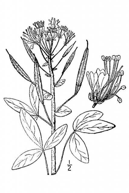 http://plants.usda.gov/java/largeImage?imageID=potr13_001_avd.tif