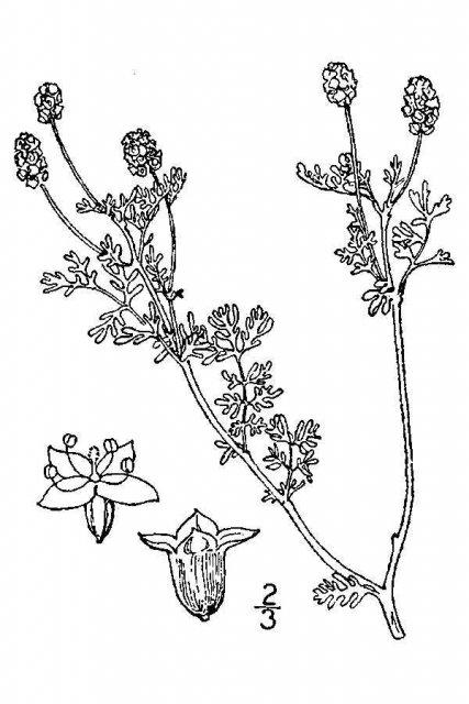 http://plants.usda.gov/java/largeImage?imageID=poan16_001_avd.tif