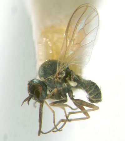 http://www.phorid.net/diptera/lower_brachycera/mythicomyiidae/mythicomyiidae.html