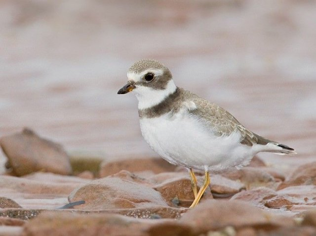 http://images.marinespecies.org/resized/39704_semipalmated-plover.jpg