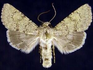 http://mothphotographersgroup.msstate.edu/species.php?hodges=10238