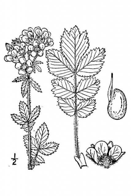 http://plants.usda.gov/java/largeImage?imageID=drag_001_avd.tif
