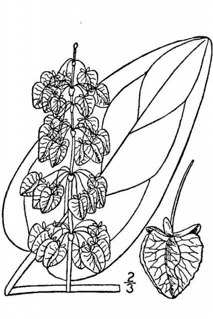 http://plants.usda.gov/java/largeImage?imageID=ruoc3_001_avd.tif