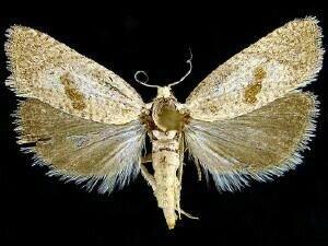 http://mothphotographersgroup.msstate.edu/species.php?hodges=3064