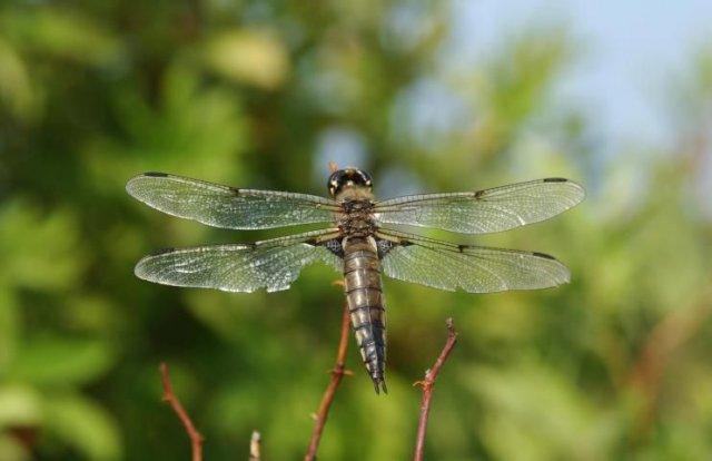 http://animaldiversity.ummz.umich.edu/site/resources/phil_myers/odonata/Libellulidae_Libellula/Libellula_quadrimaculata8191.jpg/medium.jpg