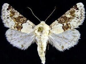 http://mothphotographersgroup.msstate.edu/species.php?hodges=10174