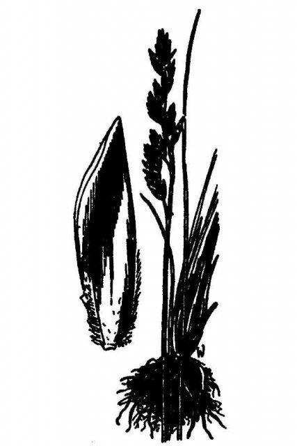 http://plants.usda.gov/java/largeImage?imageID=poru10_001_avd.tif