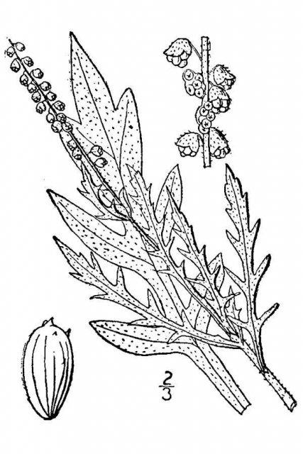 http://plants.usda.gov/java/largeImage?imageID=amps_001_avd.tif