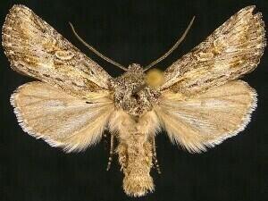 http://mothphotographersgroup.msstate.edu/species.php?hodges=10374