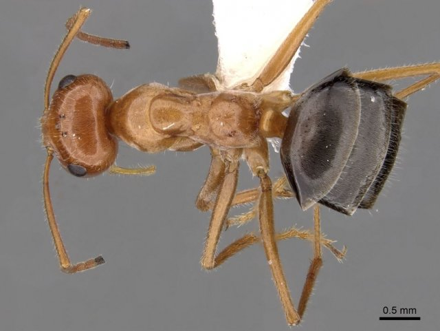 http://www.antweb.org/description.do?genus=myrmecocystus&name=kennedyi&rank=species