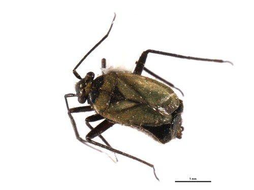 http://www.boldsystems.org/views/taxbrowser.php?taxon=Labopidea+nigrisetosa
