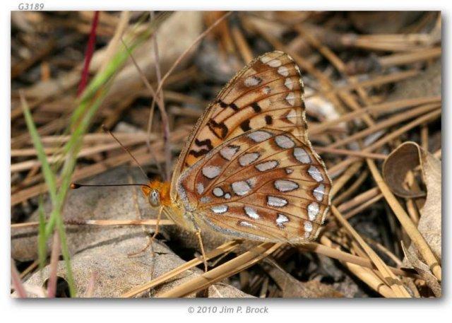 http://butterfliesofamerica.com/images/Nymphalidae/Argynnini/Speyeria_coronis_semiramis/Speyeria_coronis_semiramis_USA_CA_San_Bernardino_Co_San_Bernardino_Mtns_Seven_Oaks_21-VI-2010.JPG