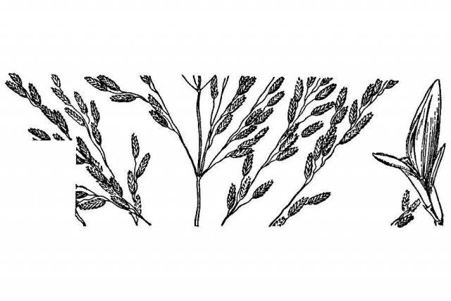 http://plants.usda.gov/java/largeImage?imageID=erdi15_001_ahd.tif
