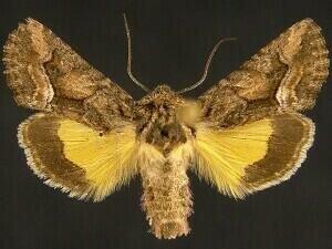 http://mothphotographersgroup.msstate.edu/species.php?hodges=9606