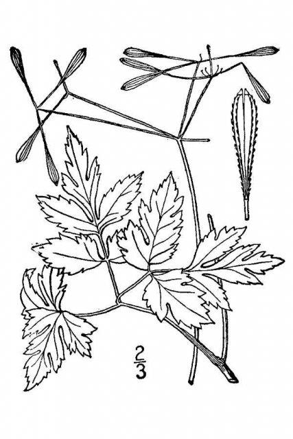 http://plants.usda.gov/java/largeImage?imageID=waob_001_avd.tif