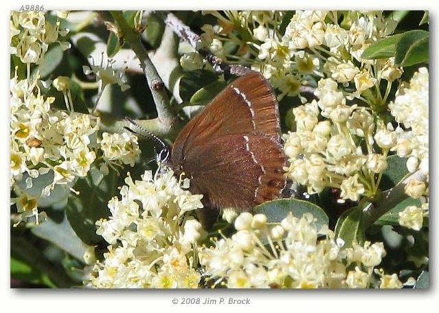 http://butterfliesofamerica.com/callophrys_johnsoni_live1.htm