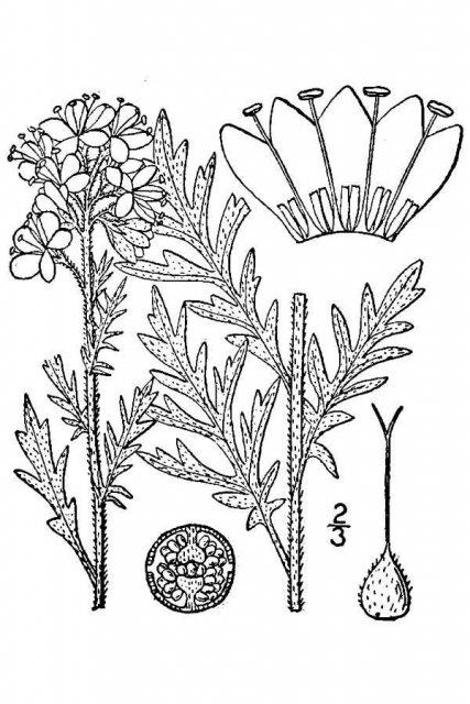 http://plants.usda.gov/java/largeImage?imageID=phfr_001_avd.tif