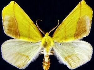 http://mothphotographersgroup.msstate.edu/species.php?hodges=6912