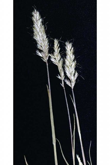 http://plants.usda.gov/gallery/large/trsp2_002_lvp.jpg