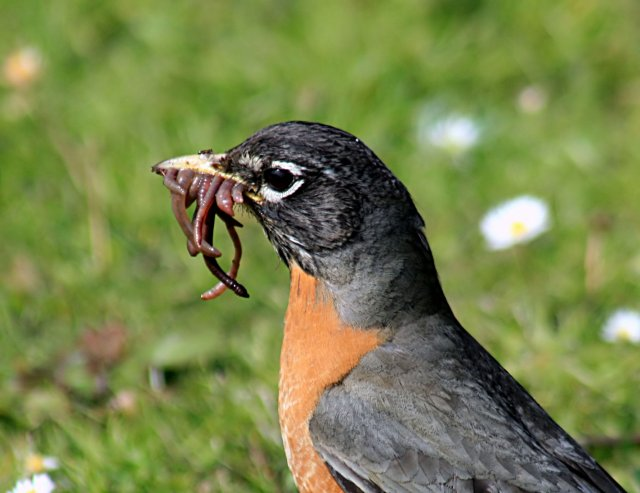 http://commons.wikimedia.org/wiki/File:Turdus_migratorius_with_worms_1.jpg
