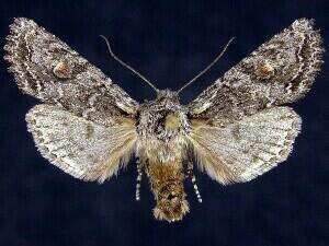 http://mothphotographersgroup.msstate.edu/species.php?hodges=10505