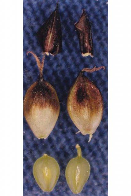 http://plants.usda.gov/gallery/large/cara6_002_lvp.jpg