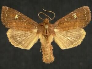 http://mothphotographersgroup.msstate.edu/species.php?hodges=9367.1