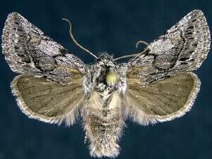 http://mothphotographersgroup.msstate.edu/species.php?hodges=10029