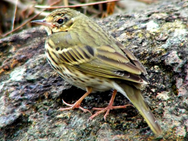http://commons.wikimedia.org/wiki/File:Olive_backed_Pipit.jpg