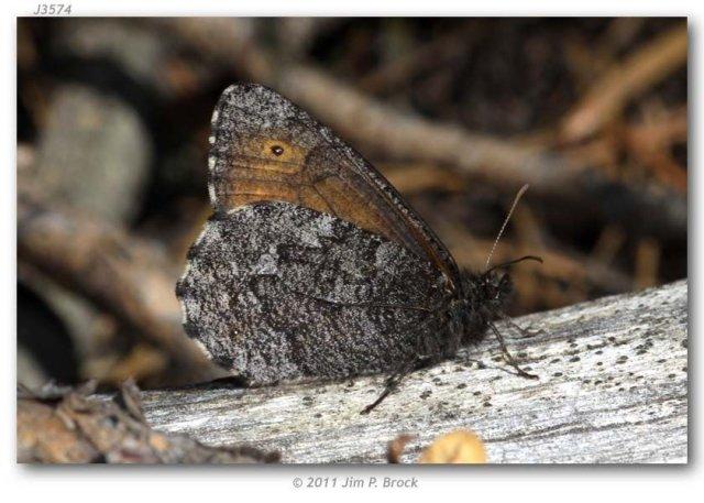 http://butterfliesofamerica.com/images/Nymphalidae/Satyrinae/oeneis_jutta_reducta/Oeneis_jutta_reducta_USA_WYOMING_Yellowstone_National_Park_Lake_Jct._21-VII-2011-BROCK_2.JPG