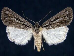 http://mothphotographersgroup.msstate.edu/species.php?hodges=10976