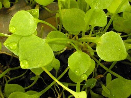 http://www.bioimages.org.uk/vfg/MWSt/Nikon950/2001/01-04/01-04-07/01D07C_5.jpg