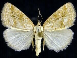 http://mothphotographersgroup.msstate.edu/species.php?hodges=9048