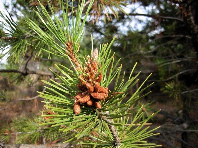 http://commons.wikimedia.org/wiki/File:Pinus_contorta_8138.jpg