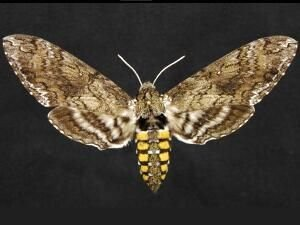 http://mothphotographersgroup.msstate.edu/species.php?hodges=7775