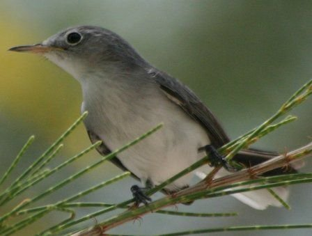 http://commons.wikimedia.org/wiki/File:Blue-Gray_Gnatcatcher.jpg