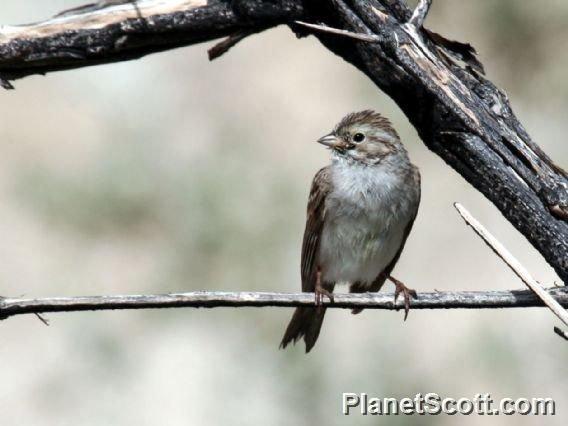 http://www.planetscott.com/speciesdetail/8956/brewers-sparrow-(spizella-breweri)-