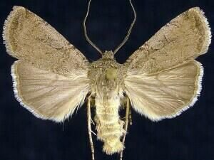 http://mothphotographersgroup.msstate.edu/species.php?hodges=10785