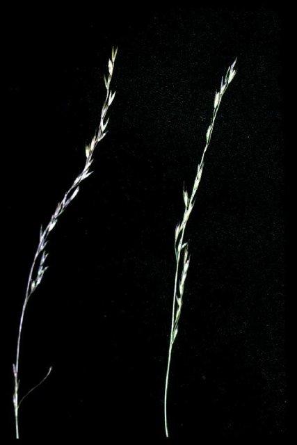 http://plants.usda.gov/gallery/large/deel_001_lvp.jpg
