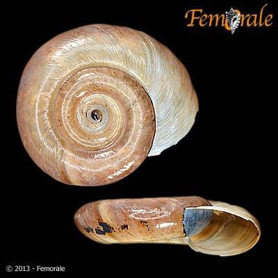 http://www.femorale.com/shellphotos/detail.asp?species=Biomphalaria%20glabrata%20(Moricand,%201839)