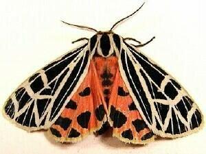 http://mothphotographersgroup.msstate.edu/species.php?hodges=8197