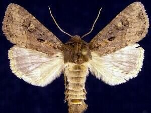 http://mothphotographersgroup.msstate.edu/species.php?hodges=9391