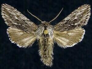 http://mothphotographersgroup.msstate.edu/species.php?hodges=10180