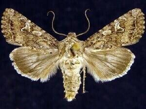 http://mothphotographersgroup.msstate.edu/species.php?hodges=10256