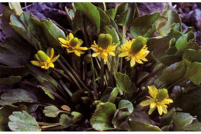 http://plants.usda.gov/java/largeImage?imageID=racy_001_ahp.tif