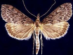 http://mothphotographersgroup.msstate.edu/species.php?hodges=4935